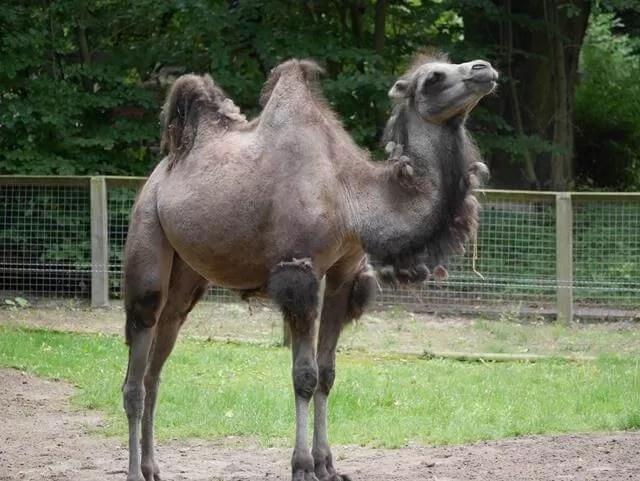 bacterian camel
