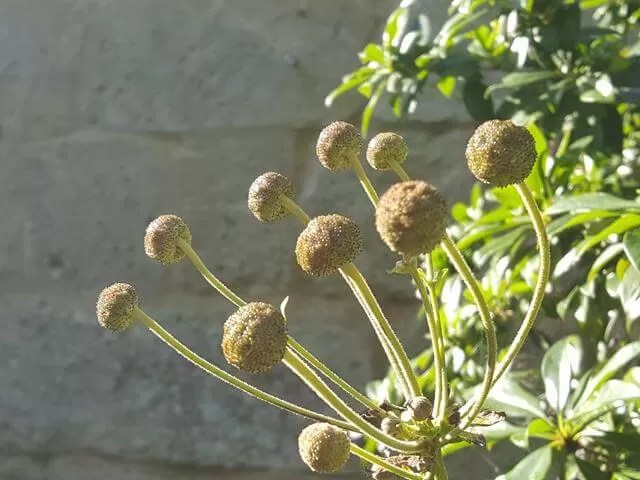ball flowers in botanic gardens
