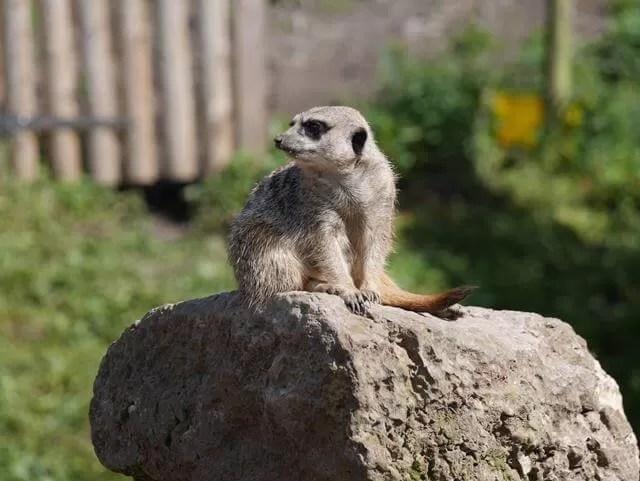 meerkat posing