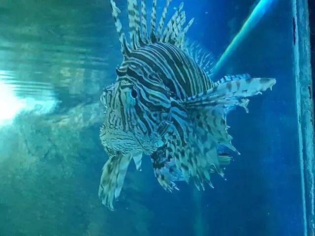 zebra fish at blue reef aquarium