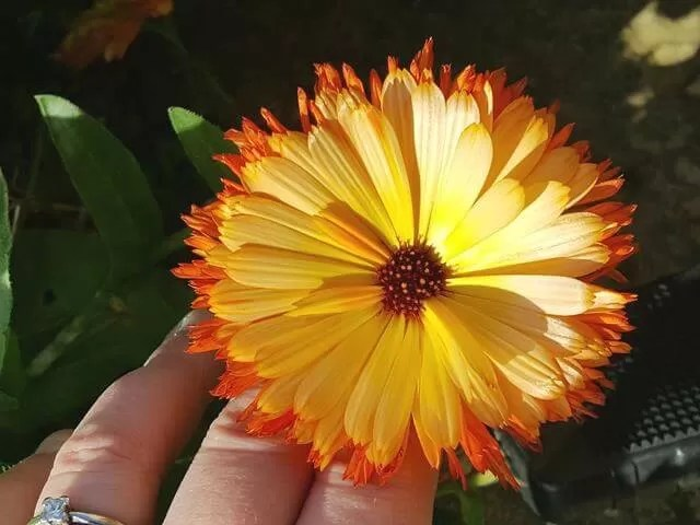 calendula living still in the rain