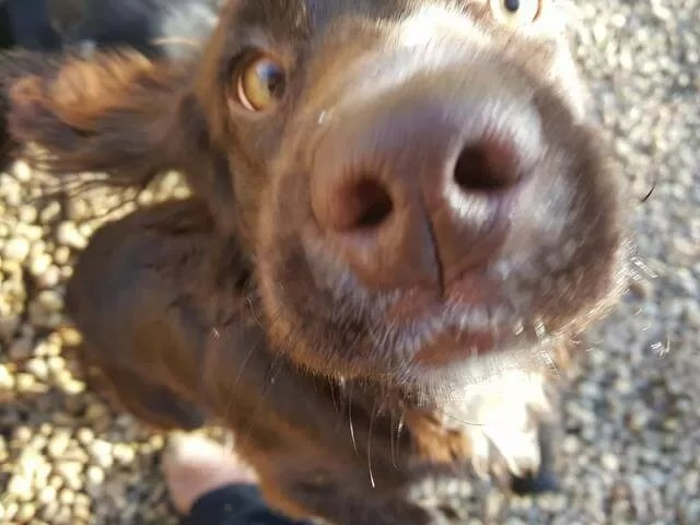 sprocker nose