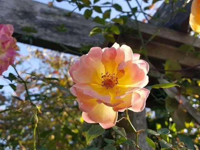 rambling rose close