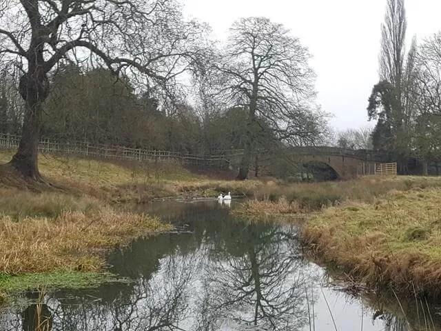 swans at Charlecote park