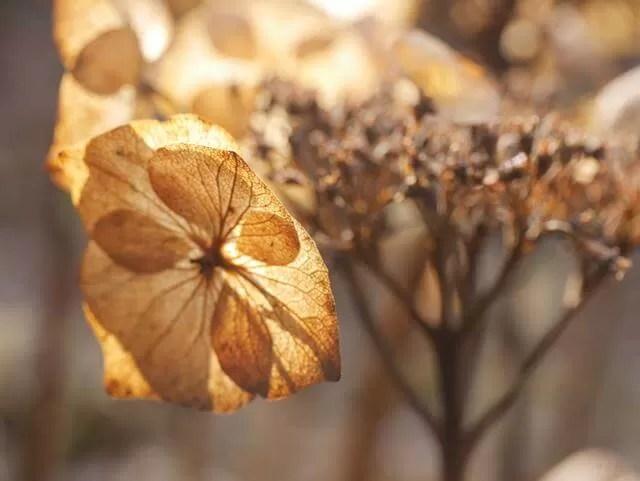 contrajour decaying petals