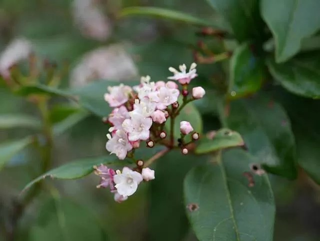 pretty pink shrub flowers
