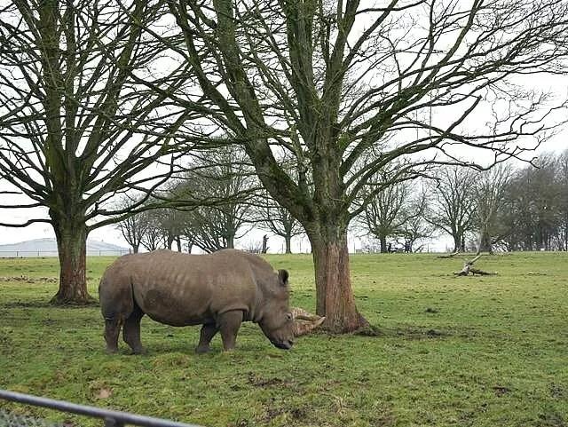 rhino at whipsnade