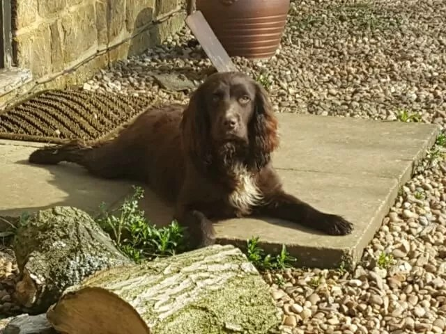 spaniel chilling in the sun