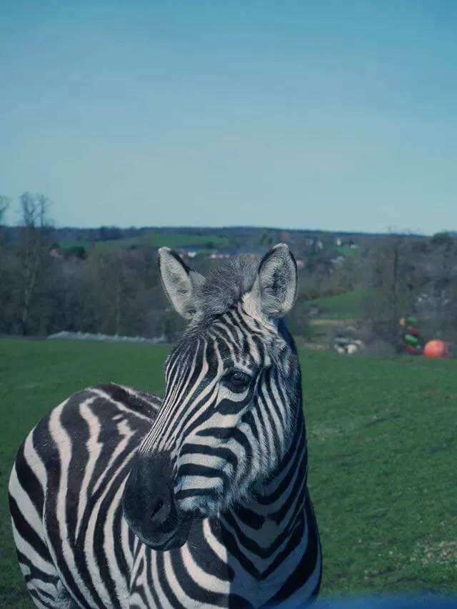 zebra at safari park