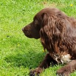 Project 52 2018 week 23 – Sprocker on watch
