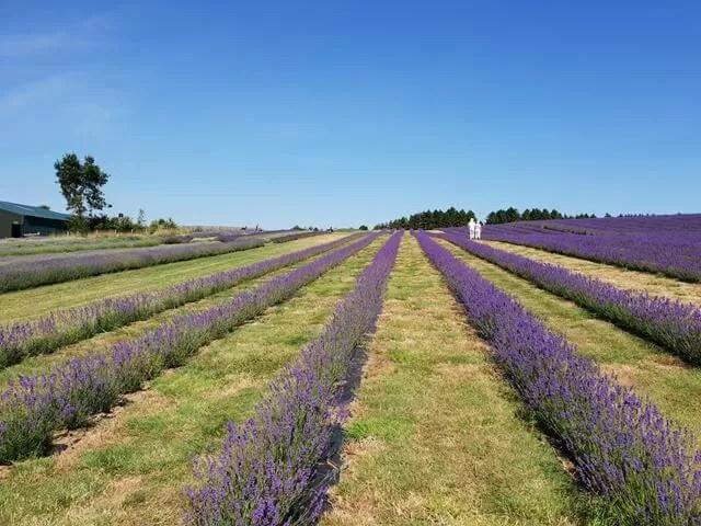 lavender strips