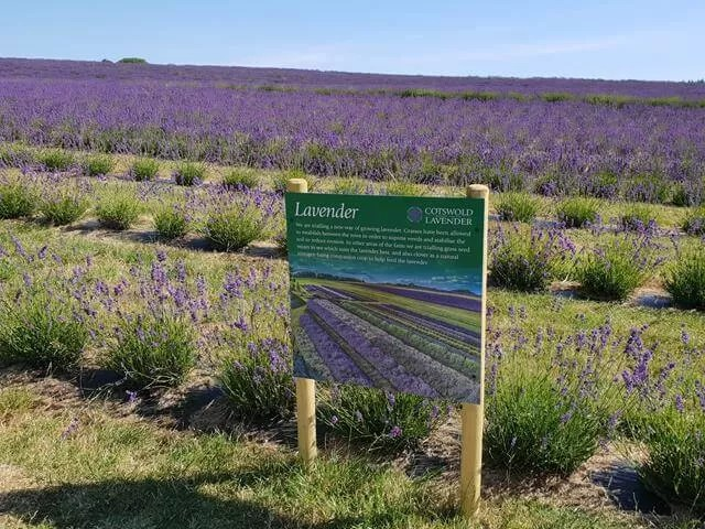 looking across cotswold lavender