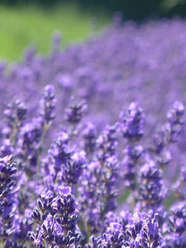 macro lavender