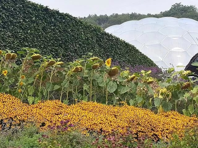 sunflowers and lazy susans at eden project