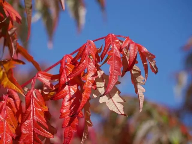 red acer leaves