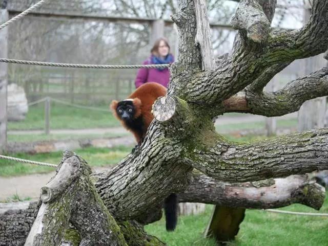 red lemur on a tree