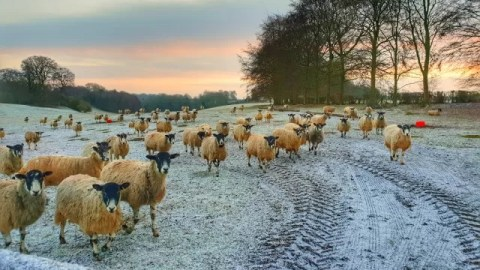 sheep in field at sunrise