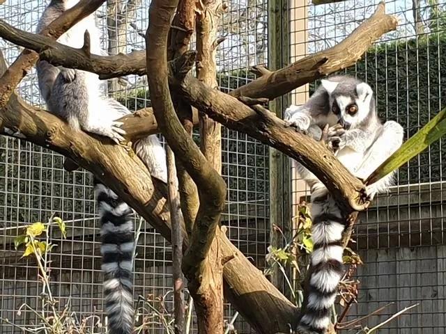 2 lemurs in a tree