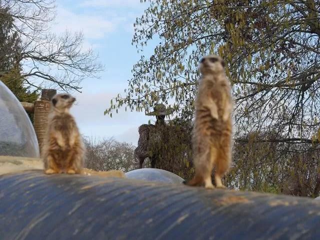 2 meerkats posing