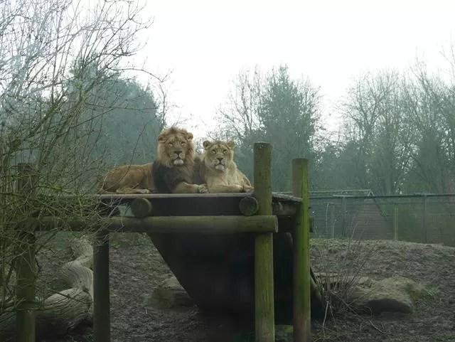 lion couple on platform