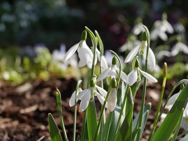 snowdrops in sunlight