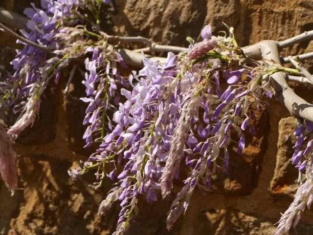wisteria against hornton stone