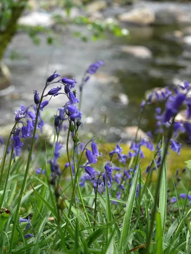 bluebells by river