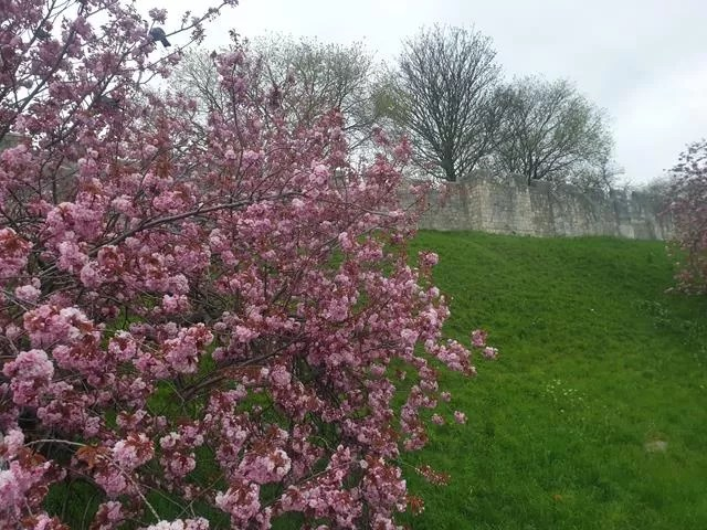 city walls and blossom