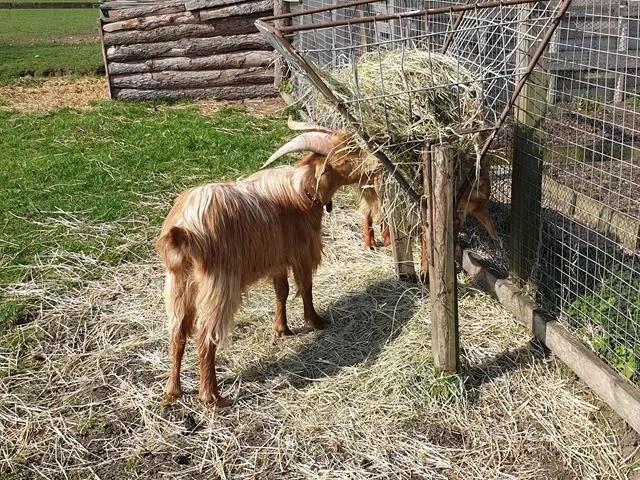 eating goats