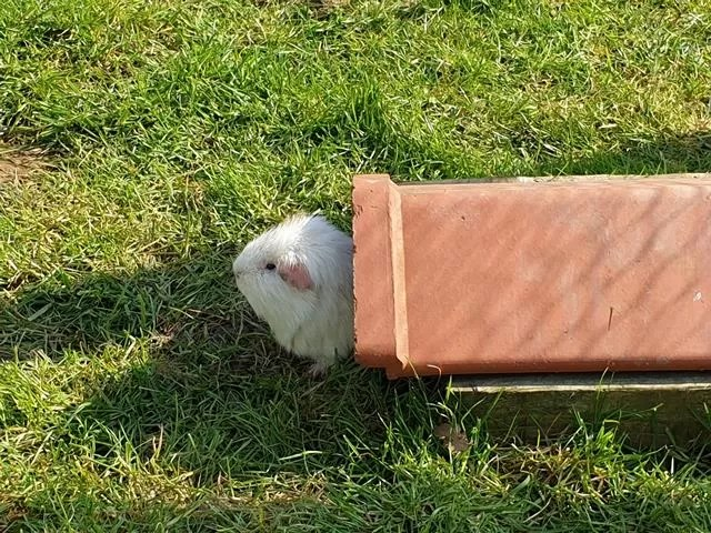 guinea pig out of a tube