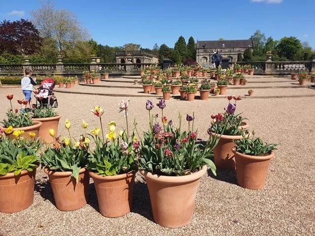 tulip flower pot displays