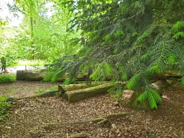 firs branches in the woods