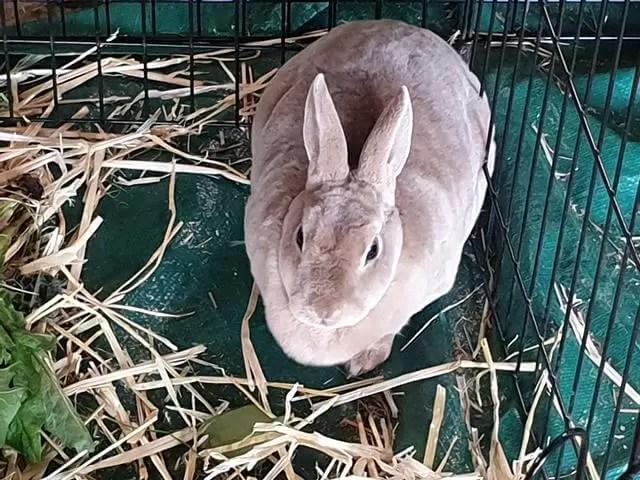 huge grey rabbit