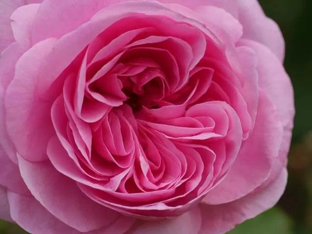 pink macro rose