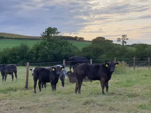 calves in fields at sunset