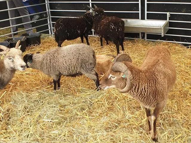 horned sheep