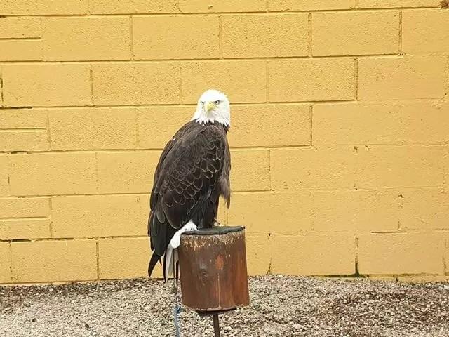 eagle at lake district wildlife park