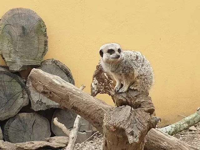 meerkats perched on branch