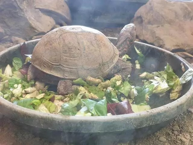 tortoise eating veg