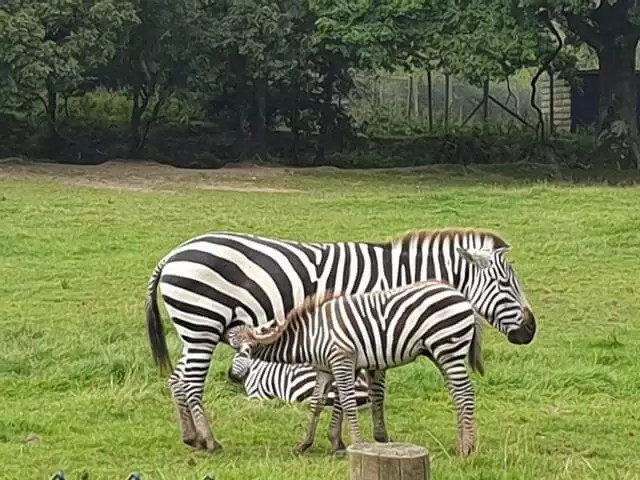 zebra foal feeding from mum zebra