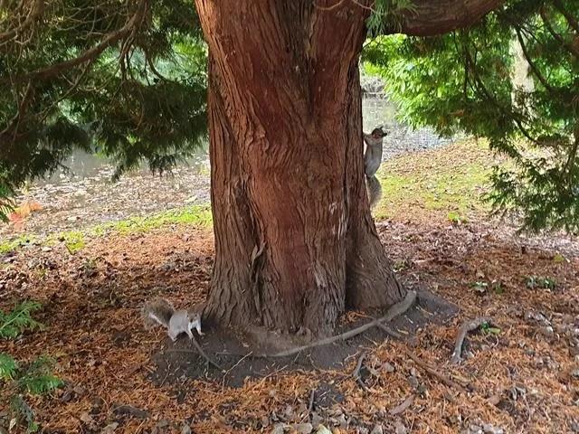 2 grey squirrels up a tree