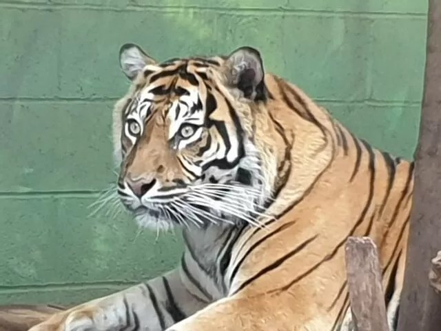 tiger watching at drayton manor