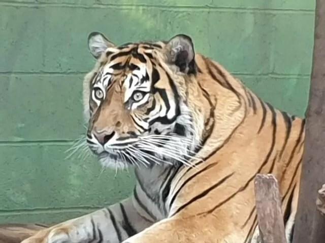 tiger watching at drayton manor