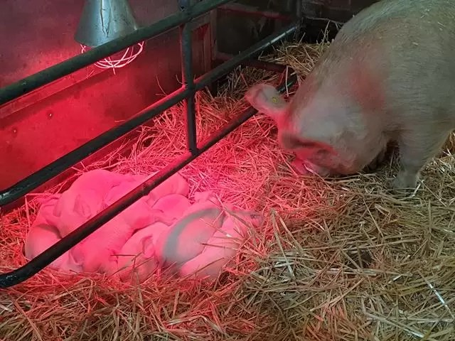 piglets under a heat lamp with sow watching