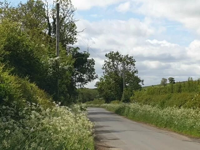 cow parsley on road verges in May