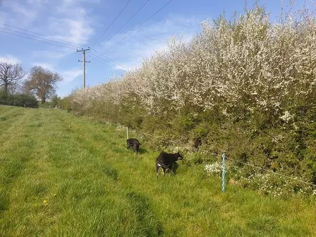 puppies walking by blossom in hedge