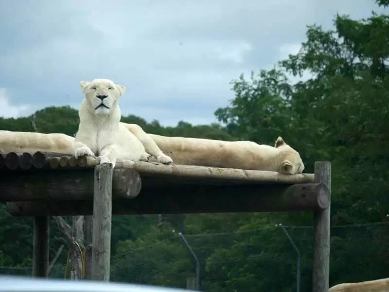 african hite lion sittin up looking