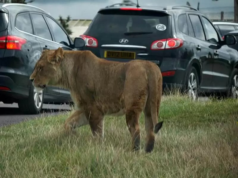 lionness walking across by cars