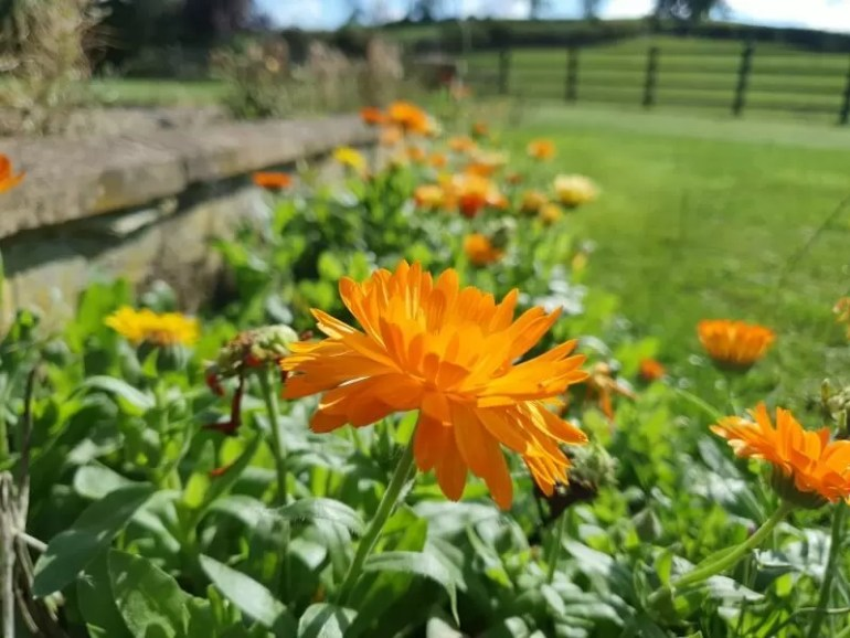 orange marigold flowers next to a garden wall from low view
