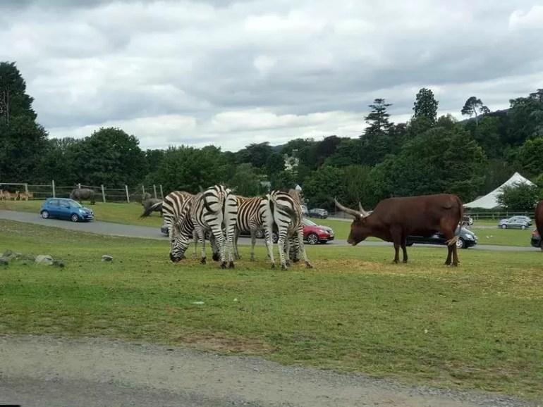 zebras grouped together
